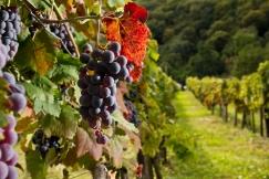 Winnica w okolicy miasta Lendava. Prekmurje, Podravje.