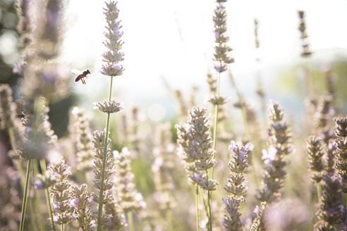 Pszczoły i fotograf zaczynają pracę skoro świt